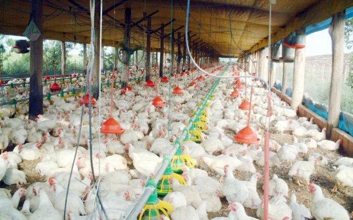 Какой выбрать комбикорм для цыплят