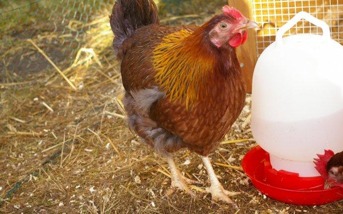 Комбикорм для кур: состав, рецепт изготовления своими руками