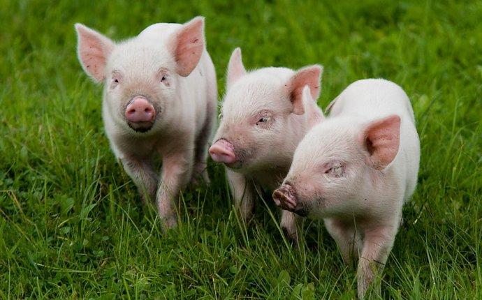 Комбикорма для свиней, поросят, свиноматок «Агрозоосвит» | Садовед