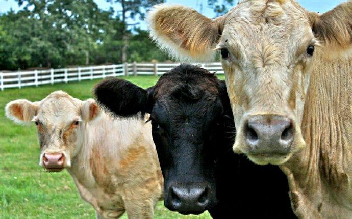 Кормление коров: рацион, сколько давать комбикорма, сена