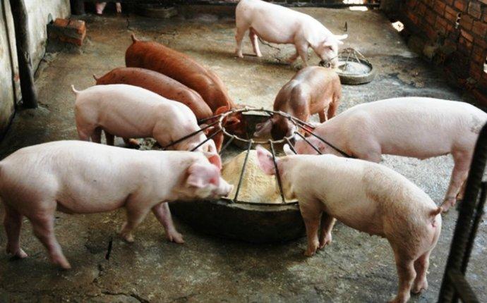 Кормушки для свиней своими руками - чертежи, фото и видео